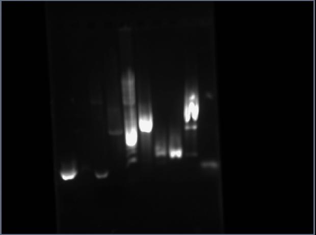 MM Pca2 analytical gel.jpg