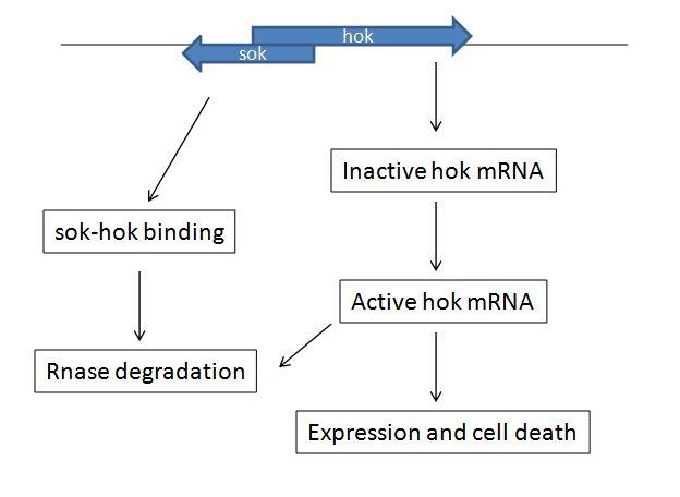 Hoksok TA System in E. coli