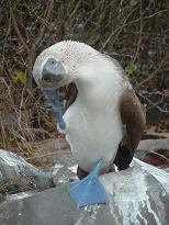 Galapagos 215s.JPG