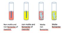 Bacillus ferment