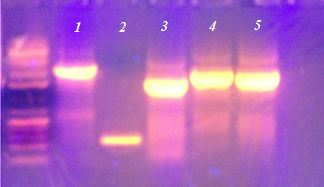 File:Gg gel2-9-2013.jpg