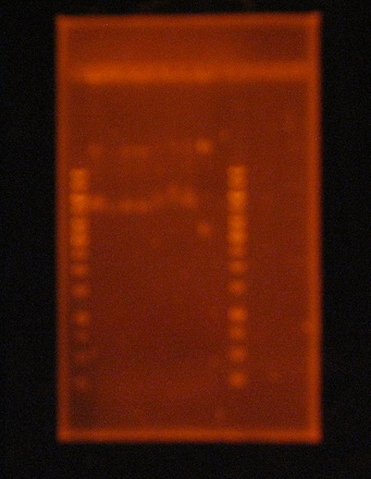 File:10Mayo2011.Fibo.pBBRmcS5Digest.HindIII.JPG