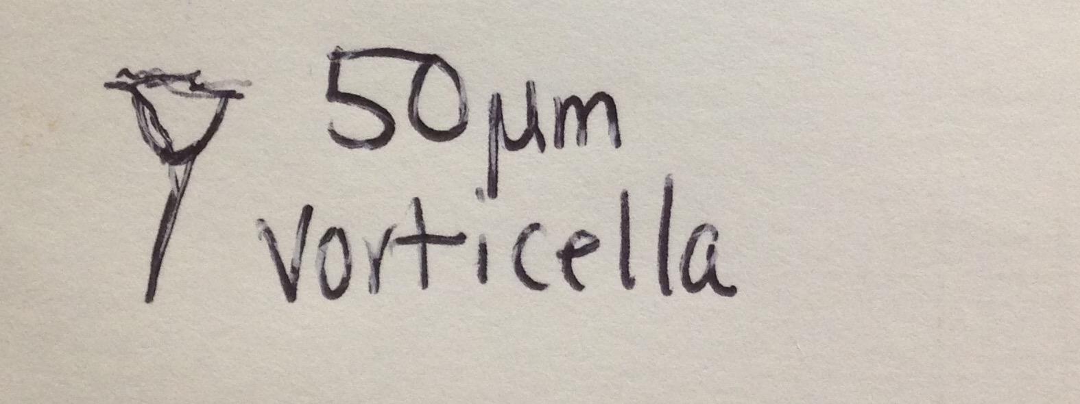 Swvorticella.jpg