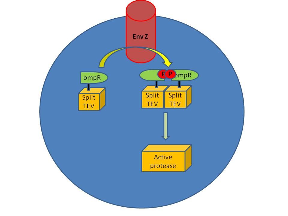 OmpR system pic.jpg
