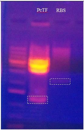 File:PcTF-RBS-Digestion-Gel-Behzad4-4-12.jpg