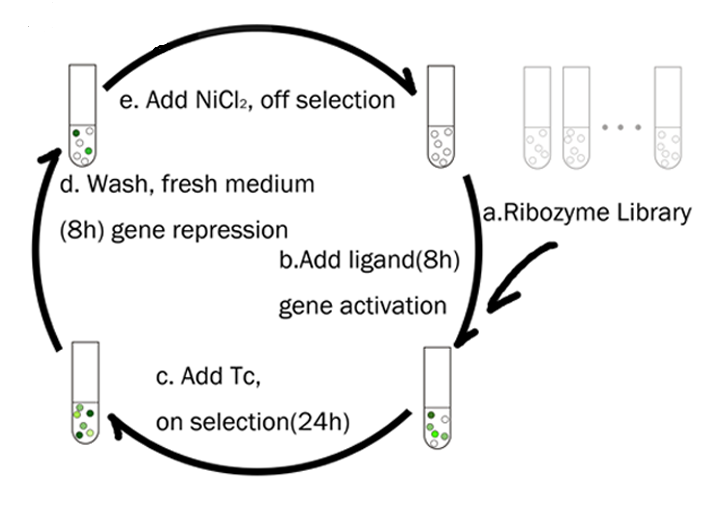 A tetA dual selection scheme as used by the 2011 Peking R iGEM team to select for ribozymes based on a TPP aptamer fused to the hammerhead ribozyme.  A similar scheme was used to switch the ON/OFF behavior of the TPP riboswitch. Team Website