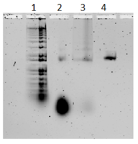 Fig. 61. 1) 100 KB DNA ladder, 2) non-purified plate, 3) purified plate, 4) M13 control