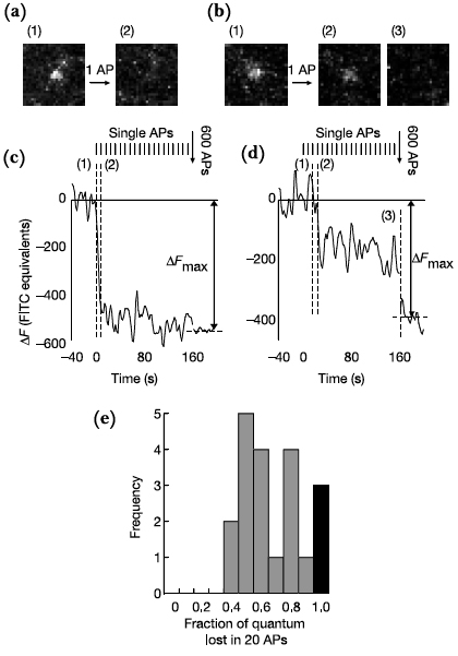 (a) Fluorescence image of full-collapse fusion process. (b) Fluorescence image of kiss-and-run process. (c) Fluorescence drop for (a), showing loss of one quanta worth of intensity. (d) Fluorescence drop for (b), showing several fractional drops in intensity. (e) Histogram showing amount of intensity lost after 20 action potentials. Black bar is for complete fluorescence loss after one action potential (full-collapse fusion).  Figure taken from Aravanis et al, 2003