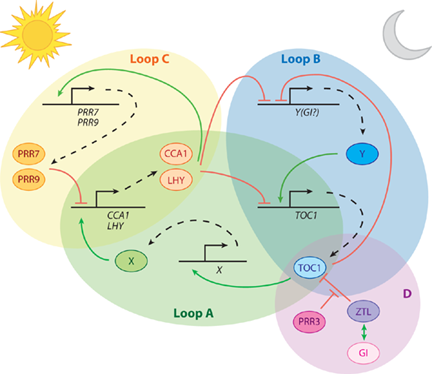 Figure 1. Model of the plant clock. Three feedback loops (loops A - C) form a transcriptional network that regulates clock function. Also essential to clock function are post-transcriptional regulatory mechanisms (loop D).  Many additional genes implicated in clock function have been omitted for clarity.  Model from [1]; see this review for further details.