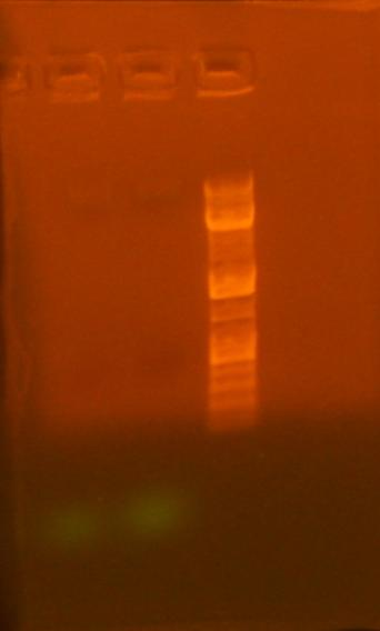 File:7-3 re pcr 213 and 239 amplification analytical gel.jpg