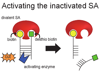 File:Monomer inactivation.png