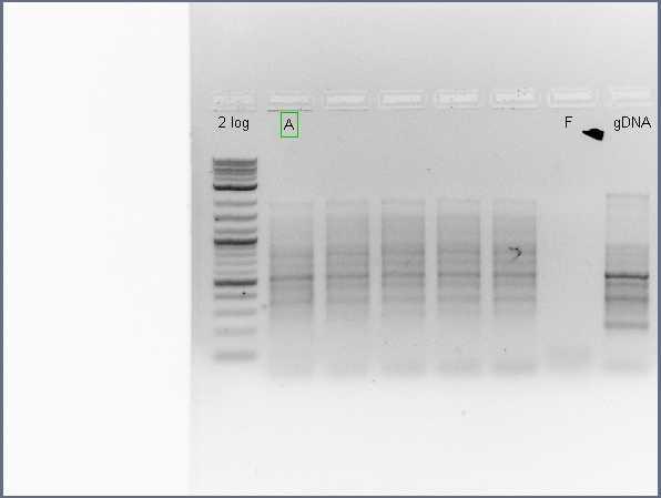 Pflegerlab 2012-07-03 10hr 55min colony PCR (round 2) of acsA-only amplification.jpg