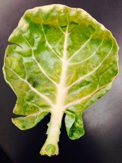 LJ lettuce.jpg