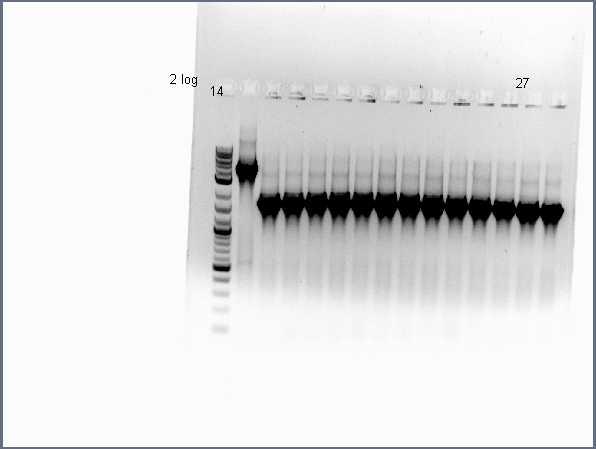 Pflegerlab 2012-06-25 17hr 12min acsA;;BC colony PCR (2 of 2).jpg