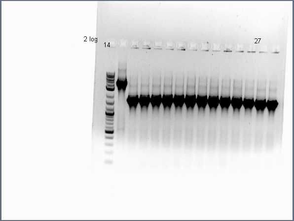 Image:Pflegerlab 2012-06-25 17hr 12min acsA;;BC colony PCR (2 of 2).jpg