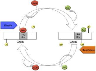 Coilinmechanism2.jpg