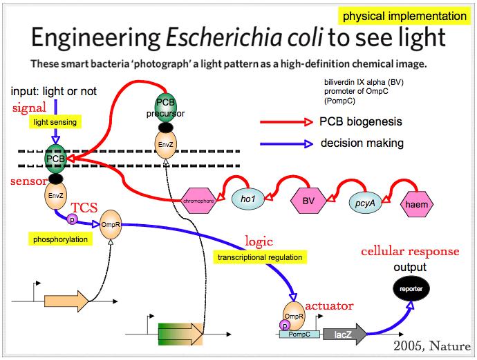 File:Reengineer E.coli to sense light.png