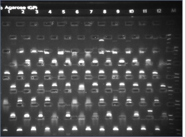 File:8-17 PCR gel 3.4 MXHTA.jpg