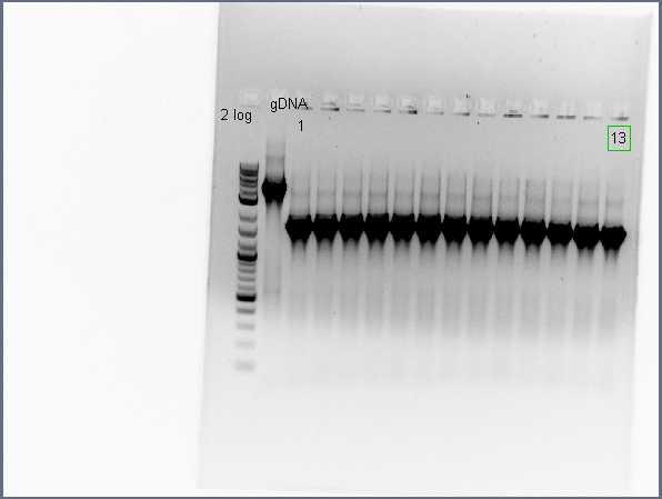 File:Pflegerlab 2012-06-25 17hr 12min acsA;;BC colony PCR (1 of 2).jpg