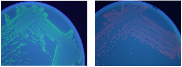 Figures 1 and 2: Split GFP (left) fluoresces green and split RFP (right) fluoresces red.