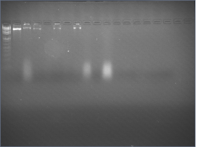 File:Igemharv06 PEGprecipitation gel 2b.jpg