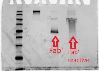Image:Figure 22-Shows smearing upward of where Fab' is usually shown, indicative of reactivity..jpg