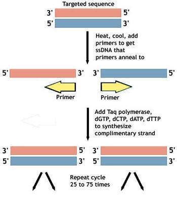 File:PCR Diagram Group 27.jpg