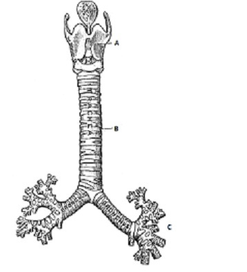 Trachea connecting the larynx to the left and right bronchus [8].