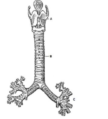 File:Trachea.jpg