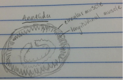 Annelida drawing.jpg