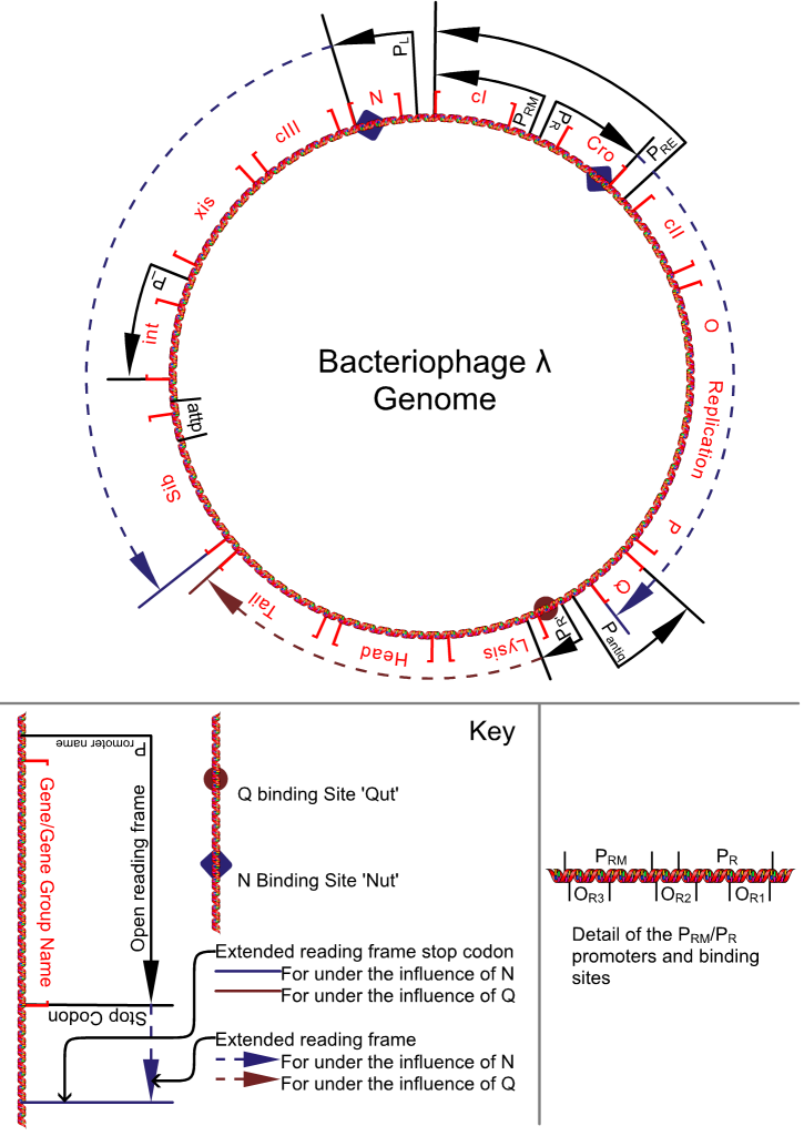 Schematic representation of the genome of the bacteriophage lambda.