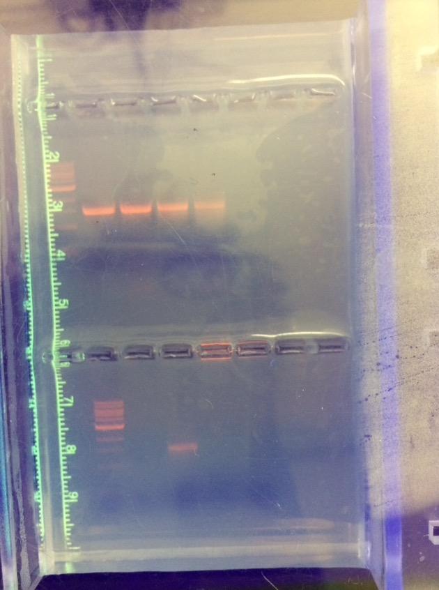 Gel electrophoresis transect 2.jpg