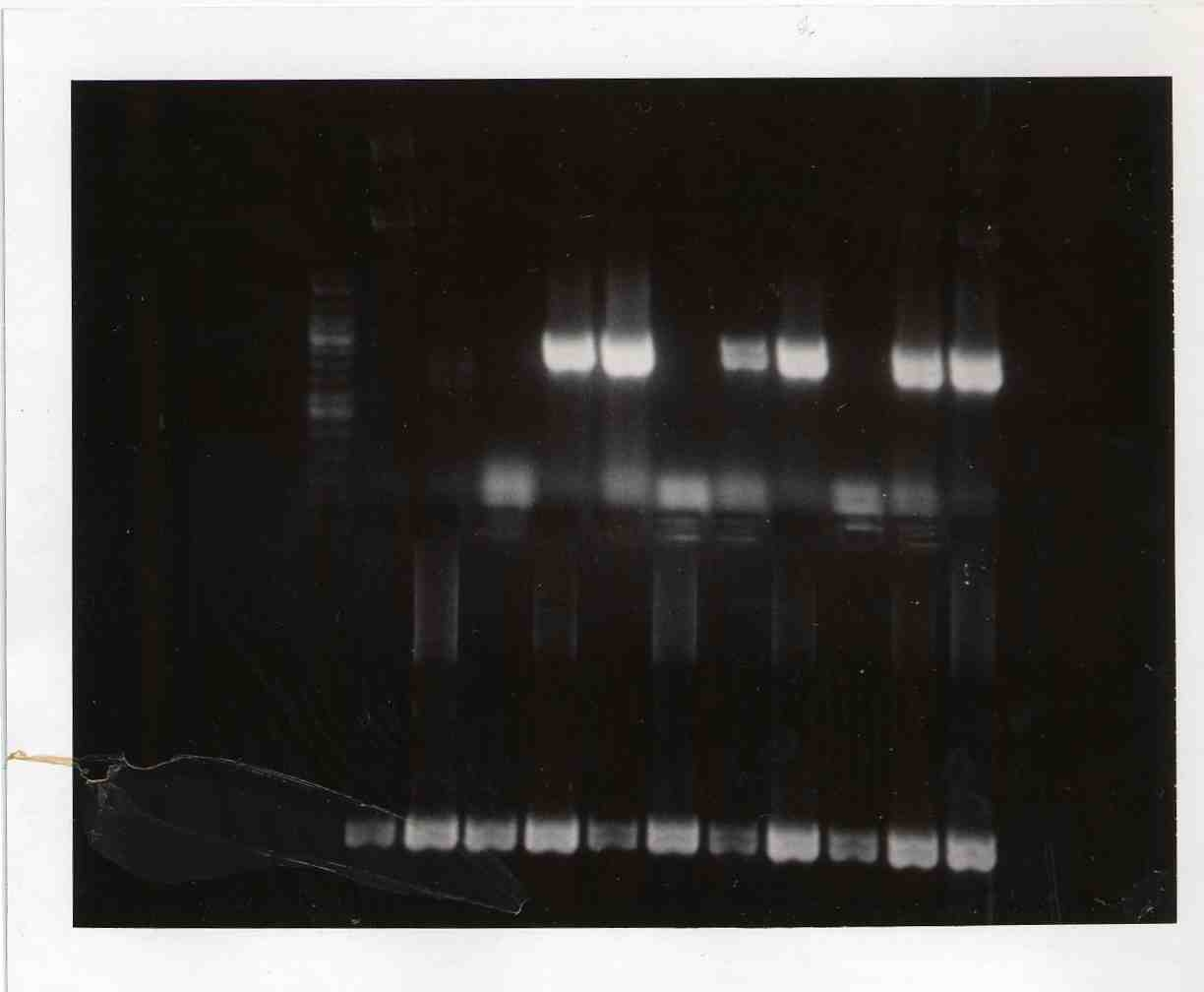 Image:Gel mod3day1 PCR products.JPG