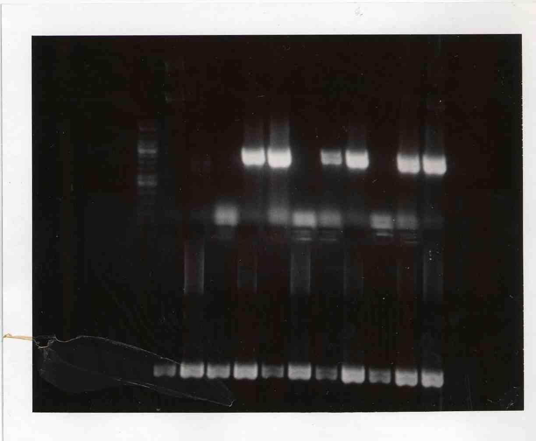 Gel mod3day1 PCR products.JPG