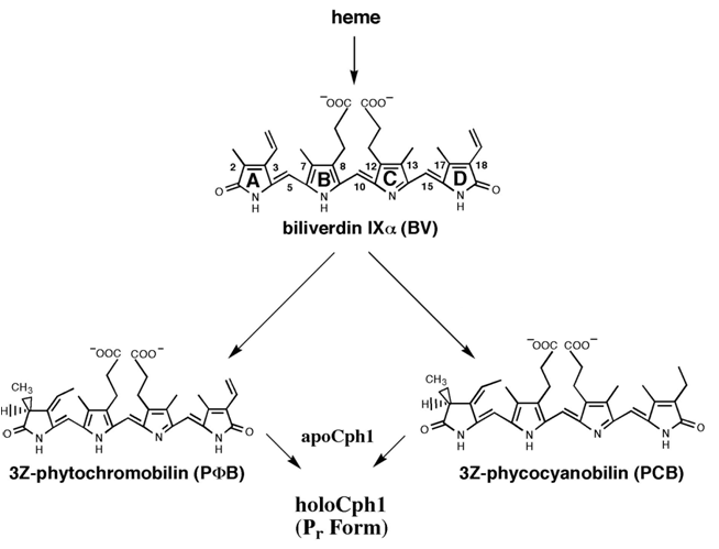 File:ChromophoreSynthesis.png