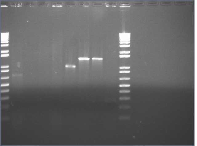 10-5 PCR gel.jpg