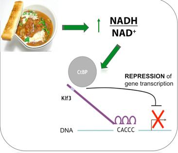 File:Klf3-ctbp-repression-diagram.jpg