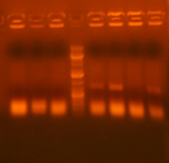 File:7-6 colony pcr pcr 3 ig213 and ig239.jpg