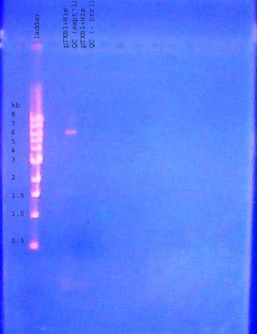 DNA gel 110613 annotated.jpg