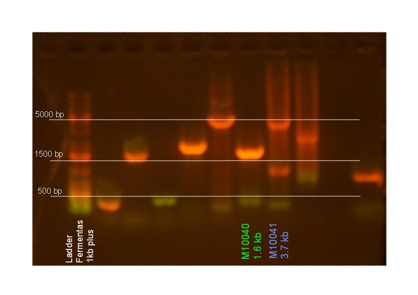 DSD Analytical gel 2-23-09.jpg