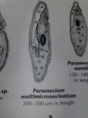 Multimicronucleatum lab2.jpg