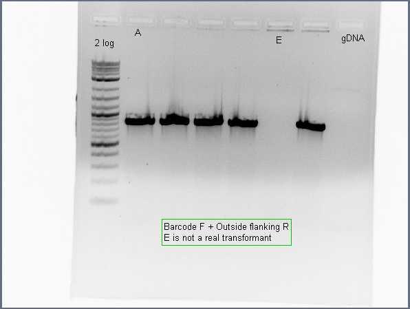 Pflegerlab 2012-06-26 14hr 39min colony PCR BC+Flanking.jpg