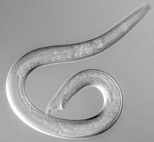 Caenorhabditis male.jpg