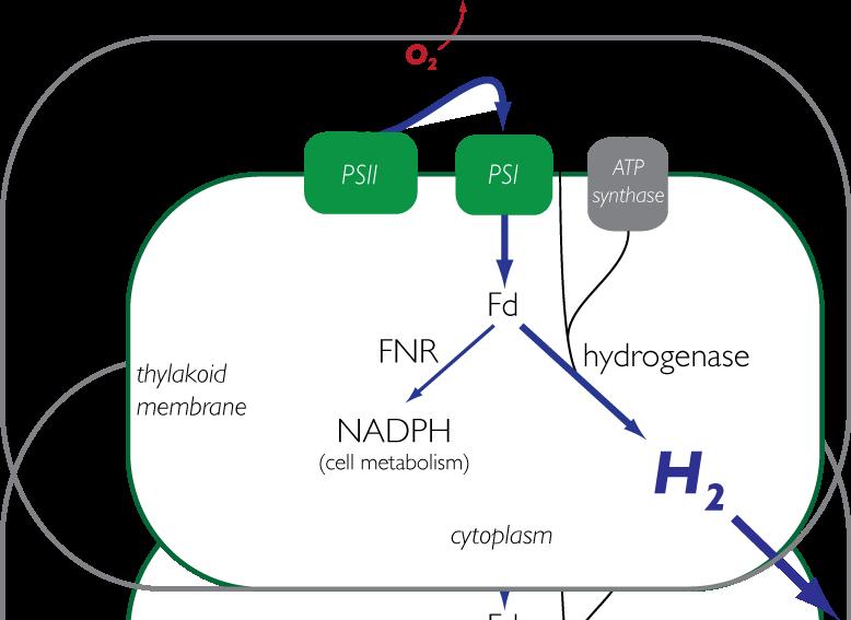 Cyanobacteria hydrogen.tif