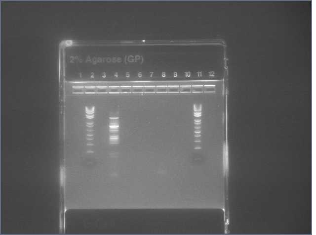 File:VP16 PCR.2 8-1.jpg