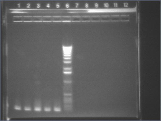 8-13-08 colonypcr2 al.jpg