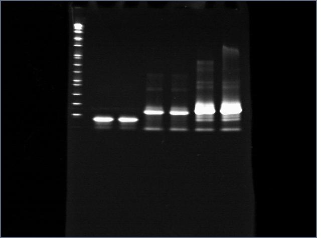 File:Cst801adapt50DNA.jpg