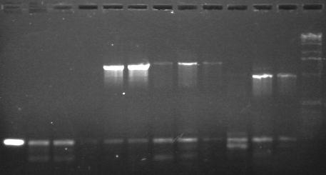 File:7-11 PCR gel 1 MXHTA.jpg