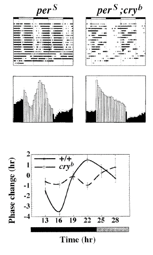 Figure 4. Cry mutant was found abolishing the phase response curve to a brief pulse of light (Image taken from R. Stanewsky, 1998)
