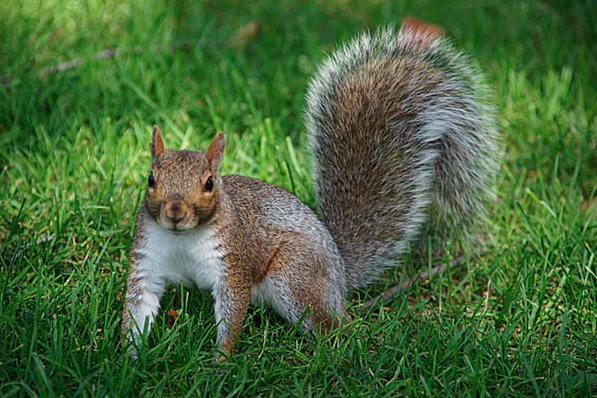 File:SquirrelbrownVW.png